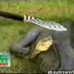 Wąż połknął hipopotama!