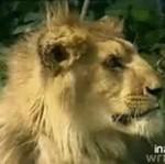 Wściekły lew ZAATAKOWAł reporterkę!