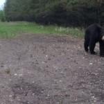 Poszedł pobiegać... spotkał niedźwiedzia!