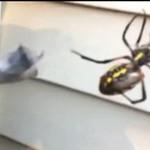 Śniadanie wielkiego pająka