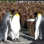 Ustawka pingwinów