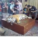 NAĆPALI tygrysa, żeby... porobić sobie z nim zdjęcia!