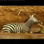 Krokodyl zaatakował zebrę