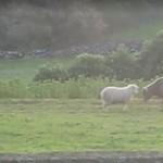 Owca uczy byka szarżowania