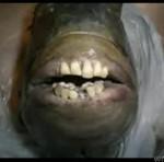 Ryba z ludzkimi zębami - SZOK!