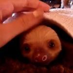 Słodki mały leniwiec - ZIEWANIE