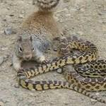 Wiewiórka ATAKUJE węża!