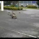 Bójka kaczek - przegrany ponosi śmierć!