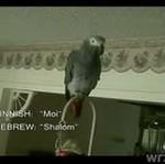 Papuga mówiąca w 16 językach!