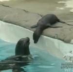 Foczka uczy się pływać - UROCZA!