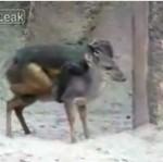 Małpa ujeżdża sarenkę!