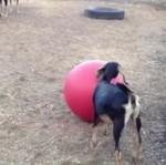 Koza na piłce do jogi