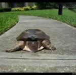Najszybszy żółw świata!