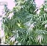 Pole marihuany w Afganistanie!
