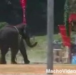 Tresowany słoń zaatakował ludzi