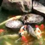 Kaczka karmi ryby!