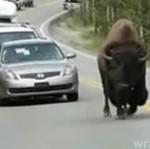 Bawół powodem korku ulicznego