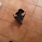 Gołąb usiłował uprawiać seks z kobietą