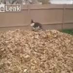 Pies Husky KOCHA jesień!