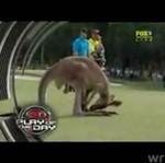 Kangur z parciem na szkło