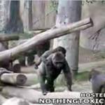 Awantura w klatce goryli