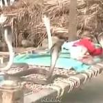 4 kobry strzegą śpiącego dziecka