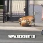 Walka psów