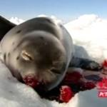 MORDOWANIE fok w Kanadzie - DRASTYCZNE!