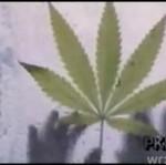 Marihuana w Polsce? Tak!