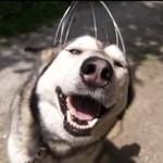Husky testuje masażer do głowy
