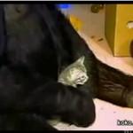 Goryl bawi się z kotkiem! SŁODKIE!