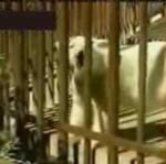 Atak niedźwiedzia polarnego