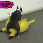Pies pokochał Pokemony