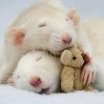 Szczury - niesamowite sztuczki