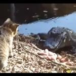 Kot ZACZEPIA aligatora!