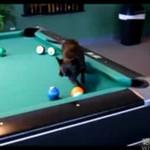 Chihuahua gra w bilard!