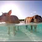 Kolekcjoner SŁODKOŚCI: plaża świń na Bahamach