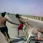 Banda idiotów zepchnęła osła z mostu!