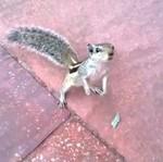 Czelabińska wiewiórka bojowa