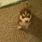 Mały husky wykonuje polecenia