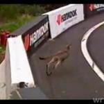 Kangur na wyścigach