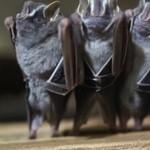 Tańczące nietoperze - PIĘKNE!