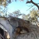 Atak szczęśliwego wilka