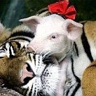 Tygrys, który ZAADOPTOWAŁ prosiaki!