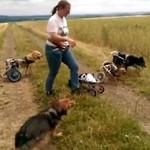 Psy na wózkach bawią się patykiem