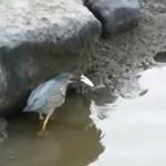 Łowienie ryb w kałuży - a robi się to tak...