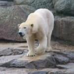 Niedźwiedź i jego pokaz taneczny