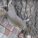 Uwaga, pijana wiewiórka!
