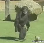 Szympans z papierosem