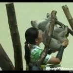 Najgorsza praca - pomaganie misiom koala w rozmnażaniu się